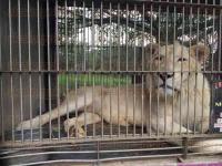 C�rdoba, Ver. 1 de marzo de 2015. Un le�n blanco, tres leonas y 13 tigres fueron los que recibi� �frica Bio Zoo, asociaci�n con Permiso para el Manejo de Fauna Silvestre, por parte del Circo Solary, que tuvo que buscarles un espacio para resguardarlos despu�s de la aprobaci�n de leyes que proh�ben espect�culos circenses con animales.