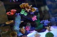 Xalapa, Ver., 5 de marzo de 2015.- El Acuario Isla Tortuga, al darse cuenta de los esfuerzos de PROFEPA y SEMARNAT por frenar la reproducci�n ilegal de corales vivos, creo corales artificiales a base de resina que exigen menos luz, menos mantenimiento y son totalmente lavables.