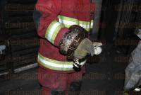 Veracruz, Ver., 25 de mayo de 2015.- La serpiente estaba enrollada en un tubo, por lo que Bomberos la atraparon y colocaron dentro de un costal, traslad�ndola a su cuartel y d�ndole aviso al personal de la PROFEPA para que la regresen a su h�bitat natural.