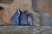 Veracruz, Ver,. 29 de junio de 2015.- El famoso ping�ino jarocho reci�n nacido en el Acuario de Veracruz, la tarde de este lunes, realiz� su primer recorrido por espacio de ocho minutos fuera del nido, donde hab�a permanecido desde su nacimiento el pasado 11 de mayo.