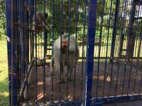 C�rdoba, Ver., 30 de junio de 2015.- Diversas especies de animales, entre ellas un hipop�tamo y un camello, propiedad del circo