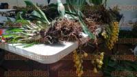 Xalapa, Ver., 31 de agosto de 2015.- Especies en peligro de extinci�n recuperadas por PROFEPA son llevadas al Orquidario del Centro de Investigaciones Tropicales de la UV; se utilizan como plantas madre para su reproducci�n.