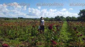 Coatzacoalcos, Ver., 27 de octubre de 2016.- Hasta con 3 meses de anticipaci�n, los campesinos de la comunidad de Huazuntl�n cultivan las flores que vender�n durante la celebraci�n de D�a de Muertos.