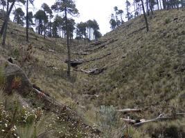 Orizaba, Ver., 23 de enero de 2017.- Alrededor de 5 millones de árboles nuevos y jóvenes visten y forman un nuevo bosque en el Parque Nacional Pico de Orizaba.