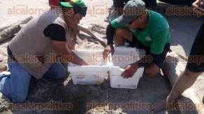 Úrsulo Galván, Ver., 25 de abril de 2017.- En la zona de dunas de las playas de Chachalacas, 11 tortugas lora llegaron a desovar; personal de PC municipal y Fuerza Civil las resguardaron, ya que eran molestadas por paseantes, pues les tomaban fotos y videos sin precaución alguna.