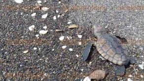 Nautla, Ver., 27 de julio de 2017.- Enormes tortugas marinas, en peligro de extinción, llegaron a playas de este municipio a depositar sus huevos, luego de 30 años de ausencia.