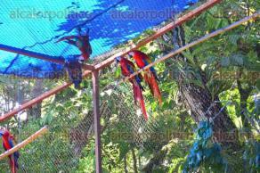 Catemaco, Ver., 18 de agosto de 2017.- Este viernes se llevó a cabo la sexta liberación de guacamayas rojas en el municipio. 13 de estos ejemplares se soltaron en la Reserva Ecológica de Nanciyaga y la misma cantidad en la reserva ejidal Benito Juárez.