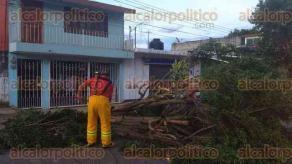 Xalapa, Ver., 16 de octubre de 2017.- Bomberos atendieron la caída de un árbol más en la Calle 1 de la colonia Margarita Maza de Juárez.