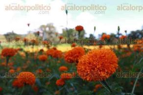 Naolinco, Ver., 19 de octubre de 2017.- Los campos de San Pablo Coapan se llenan de gran colorido con la siembra de la flor de cempasúchil que adornará los altares en las festividades de Día de Muertos.