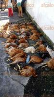 """13 de diciembre de 2017.- El programa """"El campo en tus manos"""", de la SAGARPA, entregó gallinas ponedoras a productores, pero el 30 por ciento de ellas murió a los pocos día."""