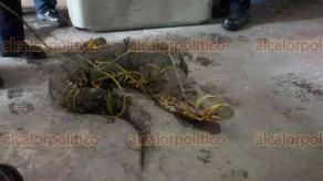 Veracruz, Ver., 21 de marzo de 2018.- Personal de Protección Civil Municipal capturó a un cocodrilo en la carretera Veracruz-Cardel, la mañana de este miércoles.