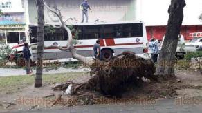 Veracruz, Ver., 17 de octubre de 2018.- Un árbol ubicado en la alameda de la avenida Salvador Díaz Mirón cayó encima de un autobús del servicio urbano.