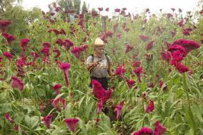 Medellín de Bravo, Ver., 21 de octubre de 2018.- Pedro Torres Vásquez es un productor de flores que continúa sembrando