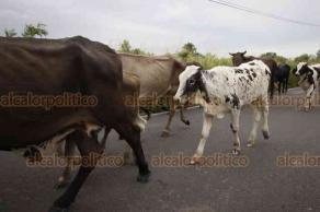 Tlacotalpan, Ver., 23 de octubre de 2018.- Para evitar mortandad de ganado con el incremento del caudal del río Papaloapan, campesinos de la comunidad Boca del Río desplazaron decenas de vacas y caballos por la carretera federal 175, hacia partes altas.