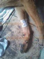 Córdoba, Ver., 14 de junio de 2019.- En campaña de esterilización masiva realizada por el Ayuntamiento se  operaron 204 mascotas de 280 que se tenían programadas; sin embargo, 7 perros murieron, por lo que las autoridades indagan las causas.