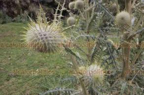 Orizaba, Ver., 22 de julio de 2019.- Conformada por raíces carnosas, tallo grueso y hojas anchas y con espinas, esta flor puede crecer en temperaturas de -0 grados centígrados y a más de 3 mil 500 m. sobre el  nivel del mar.
