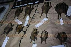Xalapa, Ver., 19 de enero de 2020.- El Instituto de Investigaciones Biológicas de la Universidad Veracruzana invita al público en general a la exposición La Biodiversidad Amenazada, hasta el 27 de febrero, en el Centro Recreativo Xalapeño, donde se exhiben esqueletos de diversos mamíferos entre ellos un manatí adulto.