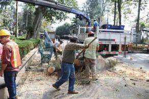 Xalapa, Ver., 29 de enero de 2020.- Como se había anunciado, trabajadores del Ayuntamiento talaron los árboles que representaban un riesgo para transeúntes, en el Parque Juárez.