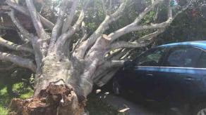 """Xalapa, Ver., 26 de febrero de 2020.- En la unidad habitacional FOVISSSTE, un enorme árbol fue derribado por el """"nortazo"""" que se registró este miércoles en la capital y dañó un auto estacionado. No se reportan lesionados."""