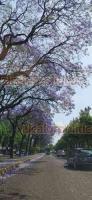 Xalapa, Ver., 10 de abril de 2020.- Las flores que adornan los árboles que se encuentran sobre la avenida Ruiz Cortines brindan una agradable vista a los capitalinos que circulan por esta importante vía de comunicación.