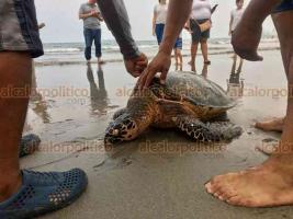 Veracruz Ver.,23 de mayo 2020.- La tarde de este sábado, el mar arrojó una tortuga muerta en playa Villa del Mar. Sorprendidos, bañistas rápidamente se aglomeraron para tomarle fotografías al quelonio.