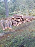 Calcahualco, Ver., 25 de mayo de 2020.- Taladores derriban hasta 30 árboles en 3 horas en esta zona del Pico de Orizaba, operando en zonas protegidas o de particulares. Incluso, pobladores refieren que ya construyeron un camino para saquear los bosques.