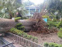 """Coatepec, Ver., 31 de mayo de 2020.- Esta tarde un árbol cayó en el parque """"Miguel Hidalgo"""", sin que hubiera lluvia o viento fuerte en ese momento. Debido a que este espacio público se encuentra cerrado no había afluencia de personas."""