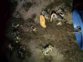 La Asociación de Médicos Veterinarios de Pequeñas Especies de Veracruz informó que esta semana rescataron 200 ejemplares de cangrejo azul en la Riviera Veracruzana, en Alvarado. Fueron depositados en la playa para que sigan su ciclo de reproducción. Otro fueron recuperados por trabajadores de la zona por la mañana.