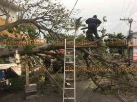 Veracruz, Ver., 17 de junio de 2021.- La tarde de este jueves se registró la caída de un árbol, en la calle Chapultepec esquina Tamiahua, colonia Chapultepec. El árbol derribó un poste y dañó dos vehículos estacionados en el lugar.