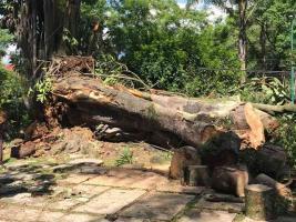 Xalapa, Ver., 22 de junio de 2021.- Enorme árbol de hule que estaba en el parque ubicado en el Paseo de Las Palmas cayó en las primeras horas de este martes. Afortunadamente no se reportaron lesionados.