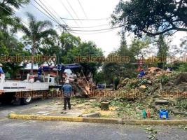 Xalapa, Ver., 23 de junio de 2021.- Personal del Ayuntamiento derribó por completo el Árbol del Hule del que una parte se desgajó, esto en la avenida Orizaba y Paseo de Las Palmas. La medida causó inconformidad en vecinos.